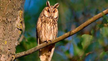 Az év madara az erdei fülesbagoly